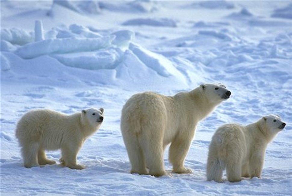 Αποτέλεσμα εικόνας για πολικές αρκουδες