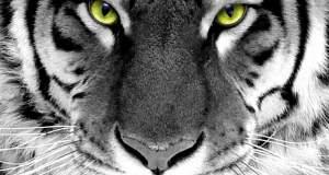Η τίγρη. Του Χαϊνη Δημήτρη Αποστολάκη