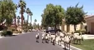 Εισβολή κατσικιών σε συνοικία της Καλιφόρνια [ΒΙΝΤΕΟ]