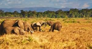 Οι ελέφαντες στην Αφρική βαίνουν προς εξαφάνιση