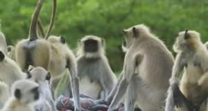 Απίστευτο! Μαϊμούδες θρηνούν μαϊμουδάκι - ρομπότ που νομίζουν ότι πέθανε [ΒΙΝΤΕΟ]