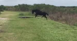Άλογο τα βάζει με κροκόδειλο [ΒΙΝΤΕΟ]