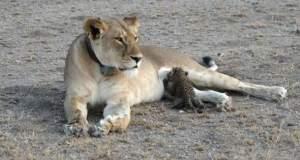 Λιονταρίνα θηλάζει μία νεογέννητη λεοπάρδαλη [ΦΩΤΟ]