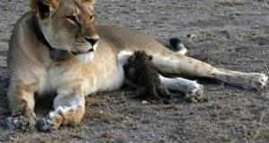 Μια λέαινα θηλάζει μικρό άλλου είδους στην άγρια φύση