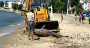 Ένα ακόμη νεκρό δελφίνι αυτήν τη φορά στη Χαλκιδική [ΒΙΝΤΕΟ]