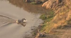 Ζέβρα γλιτώνει από κροκόδειλο και βρίσκει θάνατο από λιοντάρια [ΒΙΝΤΕΟ]