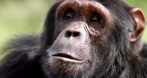 Εγκεφαλικές ενδείξεις Αλτσχάιμερ και σε ηλικιωμένους χιμπατζήδες