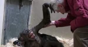 Ετοιμοθάνατος χιμπατζής αναγνωρίζει τον άνθρωπο που τη φρόντιζε πριν χρόνια [ΒΙΝΤΕΟ]