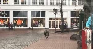 Εισβολή αγριογούρουνων σε γερμανική πόλη [Βίντεο]