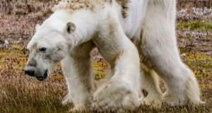 Οι ειδικοί απαντούν γιατί δεν βοήθησαν την εξαθλιωμένη πολική αρκούδα