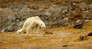 Πολικές αρκούδες στην εποχή της κλιματικής αλλαγής