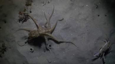 Τι παθαίνουν δυο χταπόδια όταν κυνηγούν ένα καβούρι; [ΒΙΝΤΕΟ]