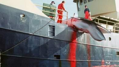 Ξεκινά στη Νορβηγία η σφαγή εκατοντάδων εγκύων φαλαινών για τα...καλλυντικά μας