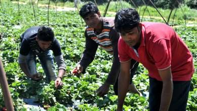 Δικαίωση των εργατών γης στις «ματωμένες φράουλες» της Μανωλάδας