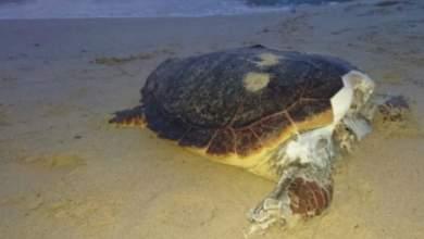 Αποκεφαλισμένες καρέτα- καρέτα ξεβράζει η θάλασσα στην Ελούντα