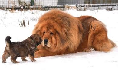 Αυτή είναι η αρχαιότερη και ακριβότερη ράτσα σκύλων στον κόσμο