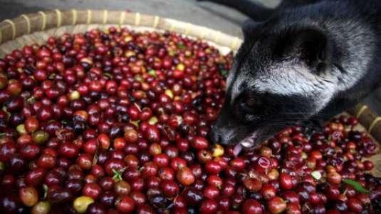 b8ce6f534c12 Μυστικό βίντεο δόθηκε στη δημοσιότητα από τη φιλοζωική οργάνωση PETA που  παρουσιάζει το τρόπο παραγωγής του πιο ακριβού καφέ στο κόσμο. Ο καφές Kopi  Luwak ...